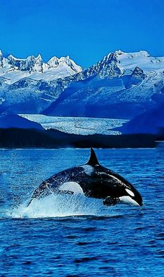 Orca or Killer Whale they are cool looking