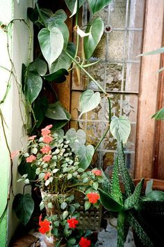 House plants everywhere! (Try not to kill them all) Indoor Garden, Garden Plants, Indoor Plants, Outdoor Gardens, Colorful Roses, My Secret Garden, Dream Garden, Container Gardening, Urban Gardening
