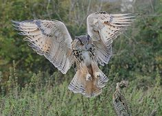 c  European Eagle Owl (Bubo bubo) by Col-page