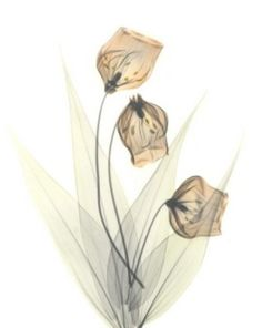 Flower X-ray by Albert Koetsier