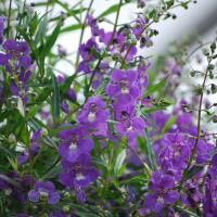 Angelonia Angelface Blue (summer snapdragons). Blooms all season; full sun; heat and drought tolerant plants; grape-scented foliage; low maintenance. Did well in hanging baskets and in our personal flower bed. One we will plant again!