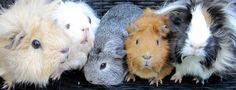 All Things Guinea Pig: Cavy Colours