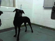 ***SUPER URGENT!!!*** - PLEASE SAVE CHARLIE!! - EU DATE: 8/12/2014 -- charlie  Breed: Black Labrador Retriever (mix breed) Age: Young adult Gender: Male  Size: Medium,  altered,   Shelter Information:   Miami-Dade Animal Services  7401 NW 74 St   Miami, FL  Shelter dog ID: A1625349 Contacts:  Phone: 305-884-1101  Name:  Adoptions  email: Pets@miamidade.gov