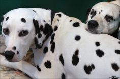 dalmatian by a bonfire | BBC News - Crufts 2011 in pictures