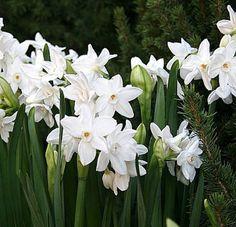 Amazon.com : PRE-CHILLED 5 Paperwhite Narcissus : Patio, Lawn & Garden