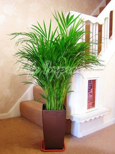 Palm Chamaedorea Elegans Evergreen Large Indoor Plant in Gloss Pot Bamboo Family