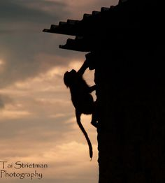 Dramatic Silhouette of Vervet Monkey Sneaking Up Side of Building