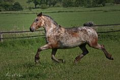 Knabstrupper (Classical type) mare Ilana af Lille Hav. She moves like a locomotive!