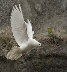 White Dove w/ his green parakeet friend