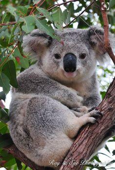 What An Absolutely Great Photo of this Koala! Cute Funny Animals, Cute Baby Animals, Animals And Pets, Koala Marsupial, Cute Koala Bear, The Wombats, Australia Animals, Tier Fotos, Animals Beautiful