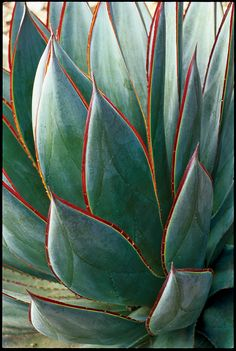 Agave 'Blue Glow' Rosettes of smooth spineless foliage have a distinctly blue cast (A. 'Blue Flame' is similar). Prefers a bit of shade in low desert. Cacti And Succulents, Planting Succulents, Cactus Plants, Plants Sunny, Cacti Garden, Succulent Planters, Succulent Arrangements, Garden Trellis, Hanging Planters