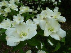 "Well, this made me say ""Wow!"" Flowering Dogwood 'Pluribracteata'. Cornus florida. 20' tall."