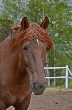 Mintun Huuma / Minttu #Finnhorse mare 2001 Suomenhevonen