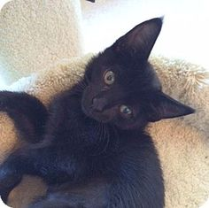 HILLSBORO, OR - Domestic Shorthair. Meet 'Bitsy and Boo', a kitten for adoption…