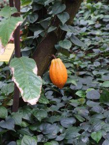 Słodki, majówkowy wpis o kakaowcu właściwym…