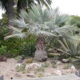 Mexican Blue Palm: Pool-friendly Brahea armata is a native to Baja California and can grow up to 20-30 feet tall, but in landscaping is often much smaller. In summer, the creamy flowers cluster on long arches down from the middle.