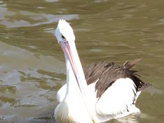 The Australian Pelican (Pelecanus conspicillatus) is a large waterbird of the family Pelecanidae, widespread on the rivers, inland and coastal waters of Australia.