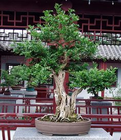 """The art of growing Bonsai is an ancient oriental tradition, in which bonsai means """"tray gardening"""". There are traces of bonsais (miniature trees or bushes) in Bonsai Tree Types, Indoor Bonsai Tree, Bonsai Plants, Bonsai Garden, Bonsai Trees, Bonsai Art, Bonsai Meaning, Miniature Trees, Tropical Flowers"""
