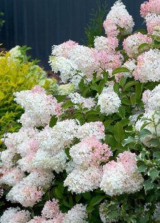 'Little Lamb' - Hardy Hydrangea - Hydrangea paniculata - part sun to sun; blooms on new wood Garden Shrubs, Flowering Shrubs, Shade Garden, Garden Plants, Flower Gardening, Container Gardening, Dwarf Hydrangea, Hydrangea Care, Smooth Hydrangea