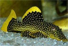 Gold Nugget Pleco – Baryancistrus Species  Average Adult Fish Size: 6 – 8 inches  /  15 – 20 cm  Place of Origin: Amazon River, South America L018, L081, L085, L177 77 – up to 86* pH 6.5  –  7.6