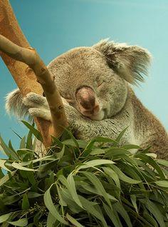 Lovely Koala... ternurita!