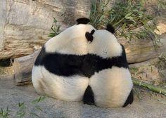 Yang Yang and Fu Hu at the Vienna Zoo on January 30, 2012.