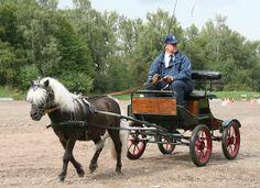 German Partbred Shetland Pony stallion Rimini