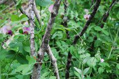 make grow gather - use branches to trellis peas
