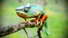 Chameleon by Jonathan Vardstedt | Creatures |
