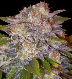 Caramelo from Delicious Seeds #marijuana #weed #cannabis #marihuana #semillas #pepitaseeds