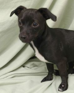 Pierce is almost 6 months old, an 8-pound, male dachshund mix. He gets along well with other dogs and is learning to walk, nicely on his leash. The $50 adoption fee helps cover spay/neuter, vaccinations, microchip, vetting, food and care. Call Pets Without Partners at 243-6911. Go to www.petswithoutpartners.org. Go to www.redding.com for more adoptable pets.