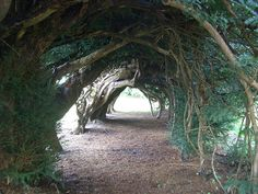 An arch of Yew trees at Aberglasney in Carmarthenshire, South Wales,,,so lovely