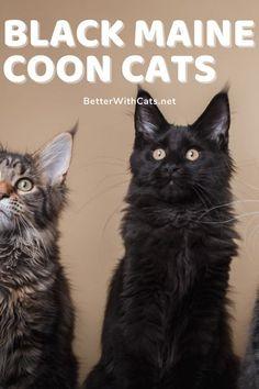 Did you know that Maine Coons can come in black? While they might not get the same amount of attention as the tradition Maine Coon pattern black Maine Coon cats are undeniably beautiful! #blackcatbreeds #mainecooncats Black Cat Breeds, Rare Cat Breeds, Most Popular Cat Breeds, Himalayan Cat, Cat Info, Norwegian Forest Cat, Maine Coon Cats, Cat Facts, Beautiful Cats