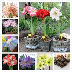 Đúng bóng đèn amaryllis, hippeastrum hoa, hippeastrum bóng đèn, hoa cây cảnh bóng đèn, Barbados Lily trong chậu trang chủ vườn thực vật-2 bóng đèn
