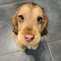 Puppy Discover Meet Winnie The Cocker Spaniel With Puppy Eyes Becomes An Internet Sensation The cocker spaniel Winnie has become an online sensation for having gorgeous large expressive eyes that has the online user talking about it relentlessly. Cute Baby Dogs, Cute Dogs And Puppies, Doggies, Funny Puppies, Cute Little Puppies, Puppies With Babies, Cute Pets, Funny Dogs, Pet Dogs