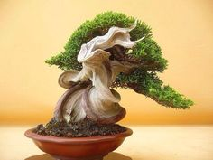 Bonsai with dead branching adds character.