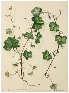 Watercolour of Ivy, by M R Dickinson, circa 1848.
