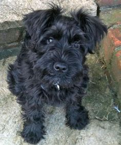 What a super darling Black miniature schnauzer