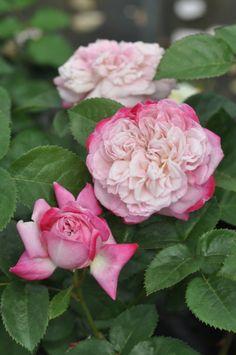 'Paris' | Shrub Rose. Production in 2013 Japan Kimura TakuIsao production