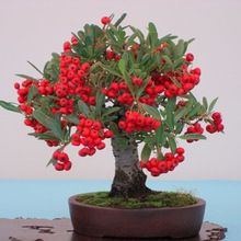 Bonsai Fruit Tree, Fruit Trees, Ikebana, Garden, Flowers, Pictures, Beautiful, Outdoor Daybed, Bonsai Trees