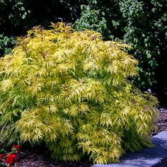 Morden Golden Glow is gorgeous and Prairie hardy! Excellent foliage plant that acts as a perfect backdrop to flowering perennials, particularly blue blooms. Loves the sun!