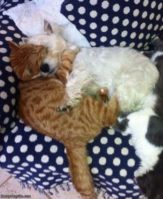 Westie and kitty cuddling- too cute!   saw this on the Indiana westie rescue facebook site and had to share!!!