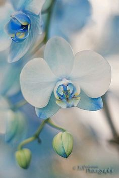 Mystic Blue Orchid