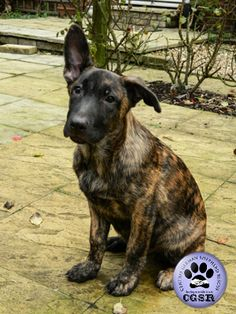 Central German Shepherd Rescue is more than happy to share each and every successfully adopted German Shepherd which we have a hand in rehoming. German Shepherd Rescue, Charity, United Kingdom, Happy, Animals, Animales, Animaux, England, Ser Feliz