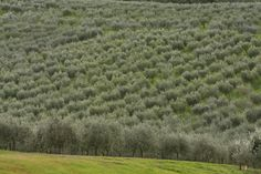 Inspired by the Tuscan countryside, our 550-acre ranch in Northern California supports 18,000 Italian organically grown olive trees.