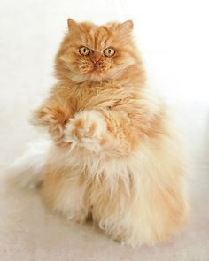 """Standing Persian Cat- """" you put the lime in the coconut"""""""