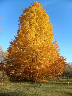 Dropmore Linden Tree. Heart shaped leaves during brilliant yellow during the fall.