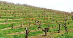 Cum împiedicăm viespile să vandalizeze via și livada Fruit Trees, Grape Vines, Vineyard, Solar, Organic, Outdoor, Gardening, Garden, Horsehair