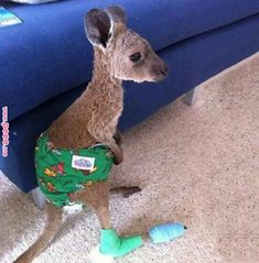 Baby Joey in a diaper 😭