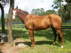 Double registered, kind, flashy chestnut mare for riding and breeding.
